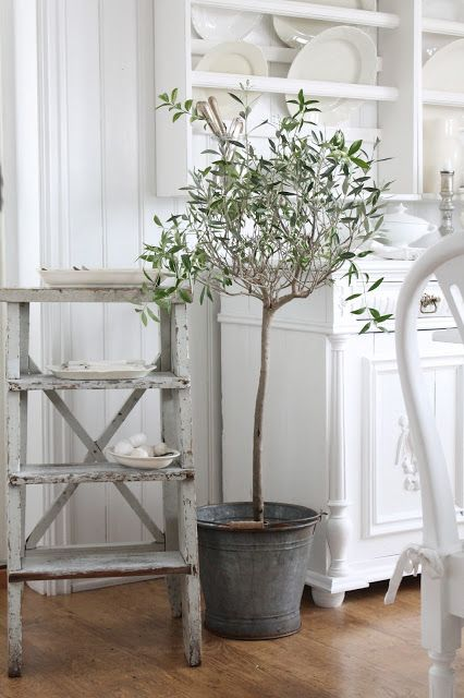 A Little Olive Tree In An Old Zinc Bucket How French Is That Indoor Olive Tree Indoor Trees Home And Garden