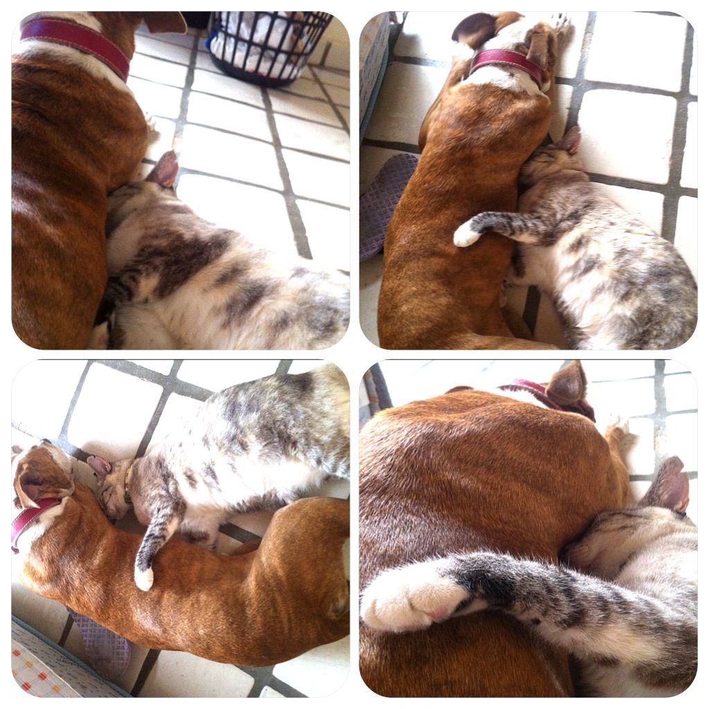 Pit bull gets a hug from kitty