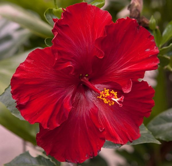 Hibiscus Plant Chevron Red Huge Fire Engine Red Flowers With Perfect Round Shape Hibisco Belas Flores Flores