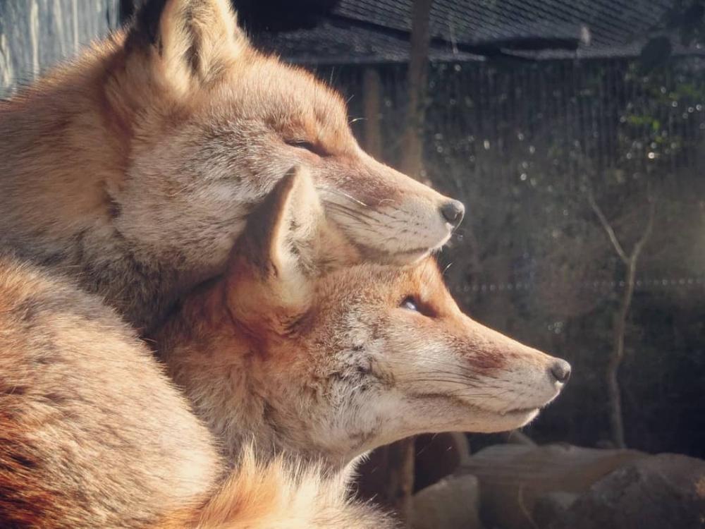 смешная лиса и волк картинки спортсменка показала, как