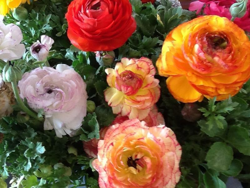 Persian Ranunculus Ranunculus Asiaticus Your Lovely Ruffled Spring Blooming Flower Belongs To The Ranunculus Genus A Perennial From T Ranunculus In 2019