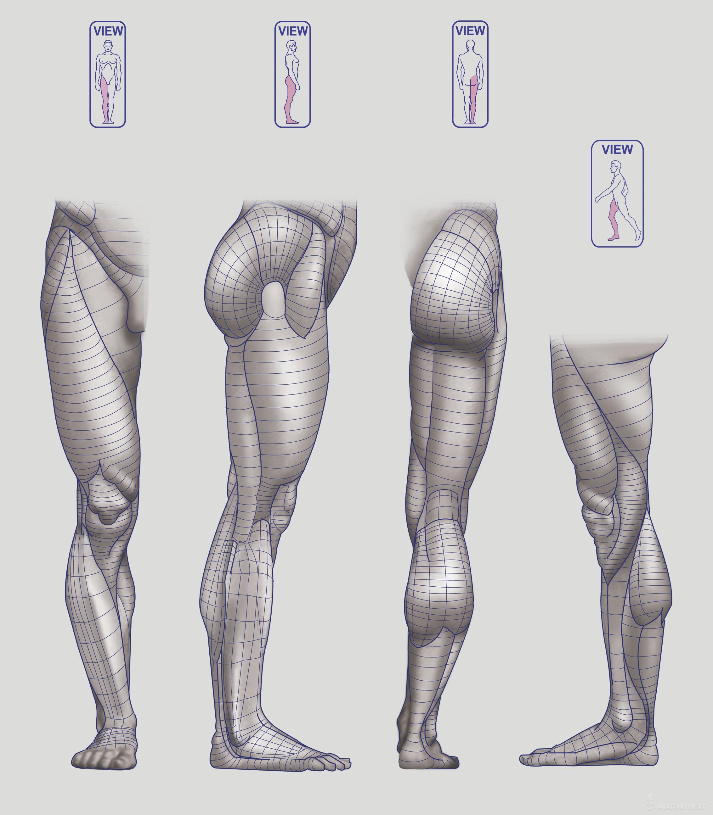 Anatomy Next - Anatomy of Lower limb: Block-outs   body sketch ...