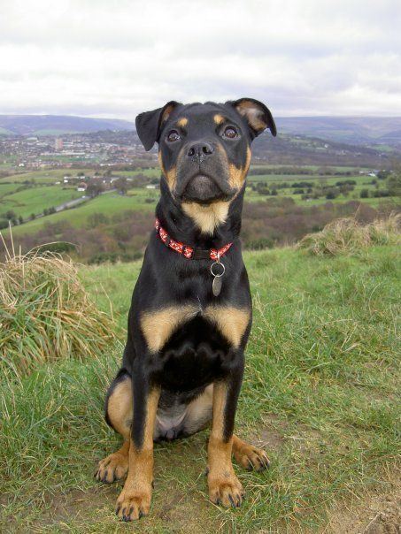 [+] Rottweiler Mixed With Boxer