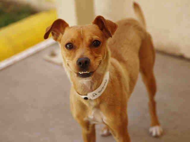 Meet Fizz! A Border Terrier & Italian Greyhound mix