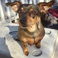 Pictures Of Tommy A Dachshund Manchester Terrier Mix For Adoption