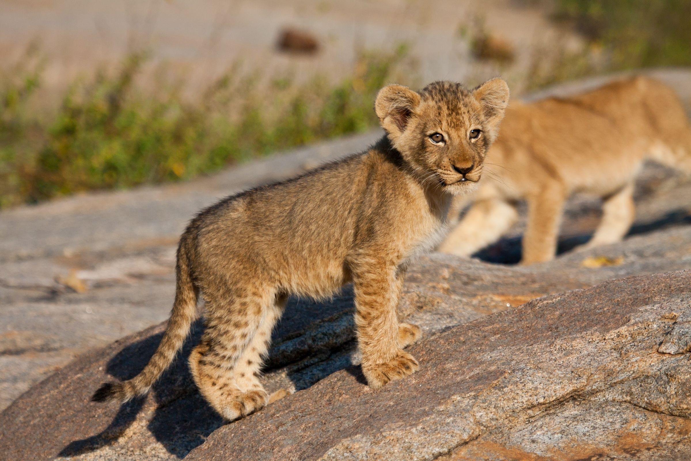 Lion Cubs Lion facts, Big cat species, Lion