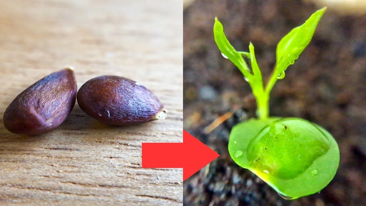 How To Grow Le And Pear Tree From Seed