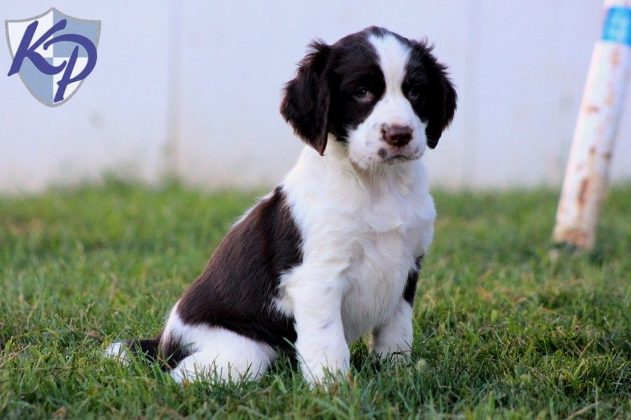 Gabby English Springer Spaniel Puppies for Sale in PA