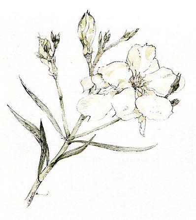 White Oleander Ink Tastic Pinterest White Oleander White