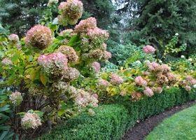 shade garden, Limelight hydrangea, Little Lime hydrangea, great plants for shade, dwarf hydrangea, 10 best shrubs