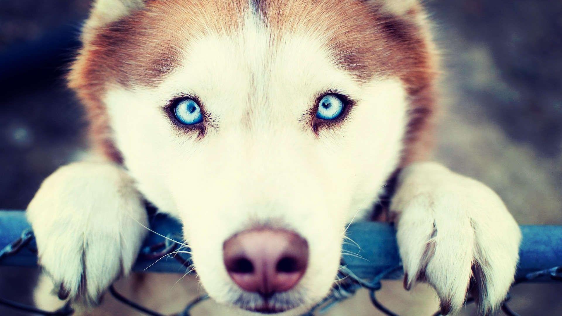 Husky Wallpaper Hd Siberian Husky Husky Husky Dogs