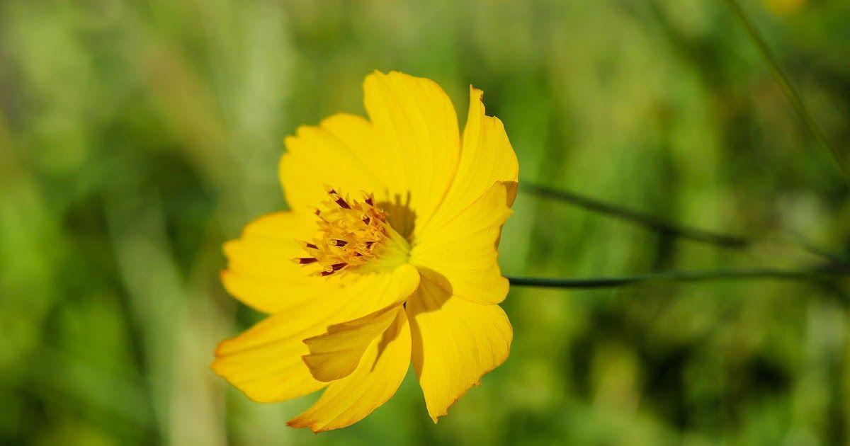 Gambar Bunga Anyelir Kuning Bunga Bunga Indah Ini Sebaiknya Tidak Dijadikan Hadiah Apa Anyelir Wikipedia Bahasa Indonesi Gambar Bunga Bunga Bunga Musim Semi