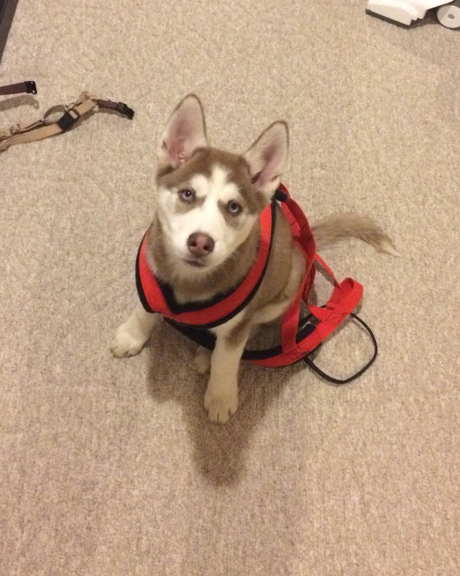 Brown Siberian Husky Puppy In Her Harness Future Sled Dod