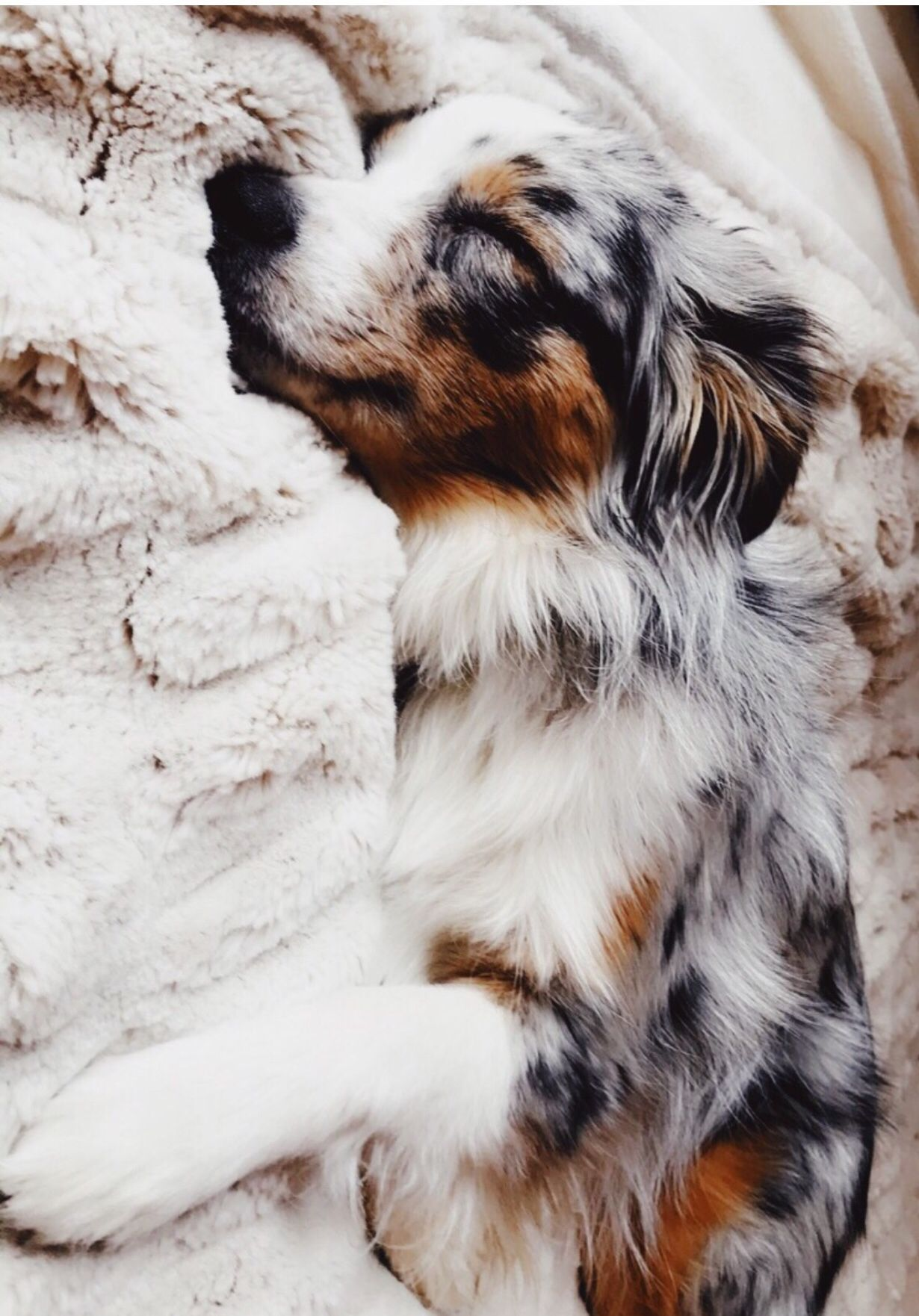 Pin By Sareena Yasmin On Cute Animals In 2020 Cute Animals Australian Shepherd Dogs Cute Dogs