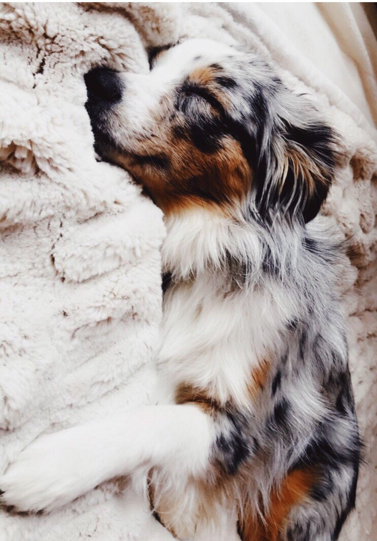 Pin By Sareena Yasmin On Cute Animals In 2020 Cute Animals Australian Shepherd Dogs Cute Dogs