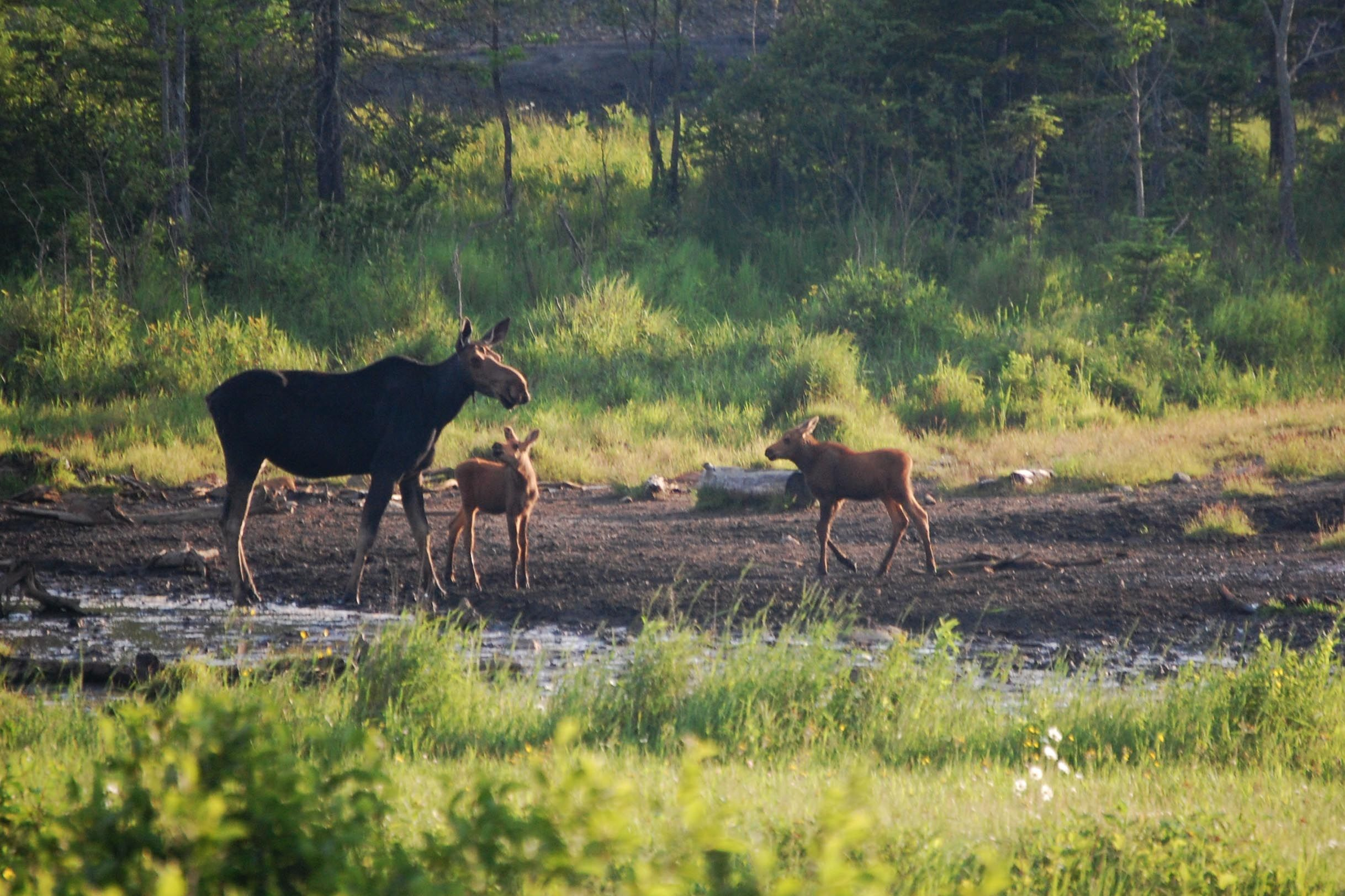 a moose and her babies gather in shirley bog near moosehead lake