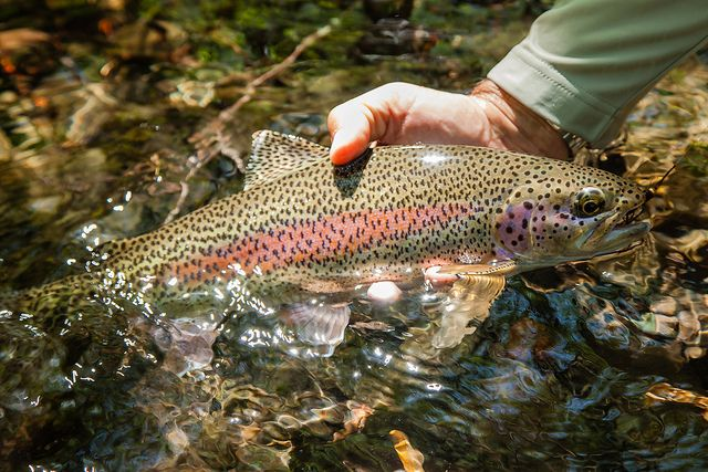 rainbow trout fly fishing on the Mckenzie river | collection | Trout