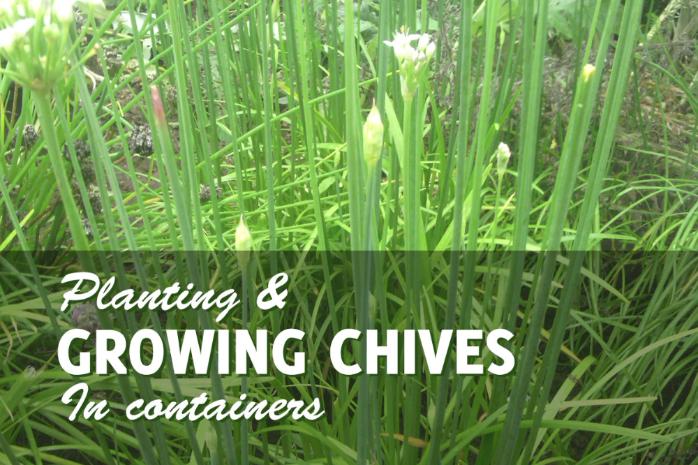 4 Steps To Harvest Chives Chives Plant Growing Chives Growing Vegetables