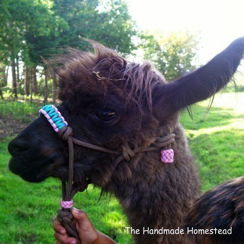 Fancy Small Llama/Goat Halter | Sheep and Wool | Rope halter