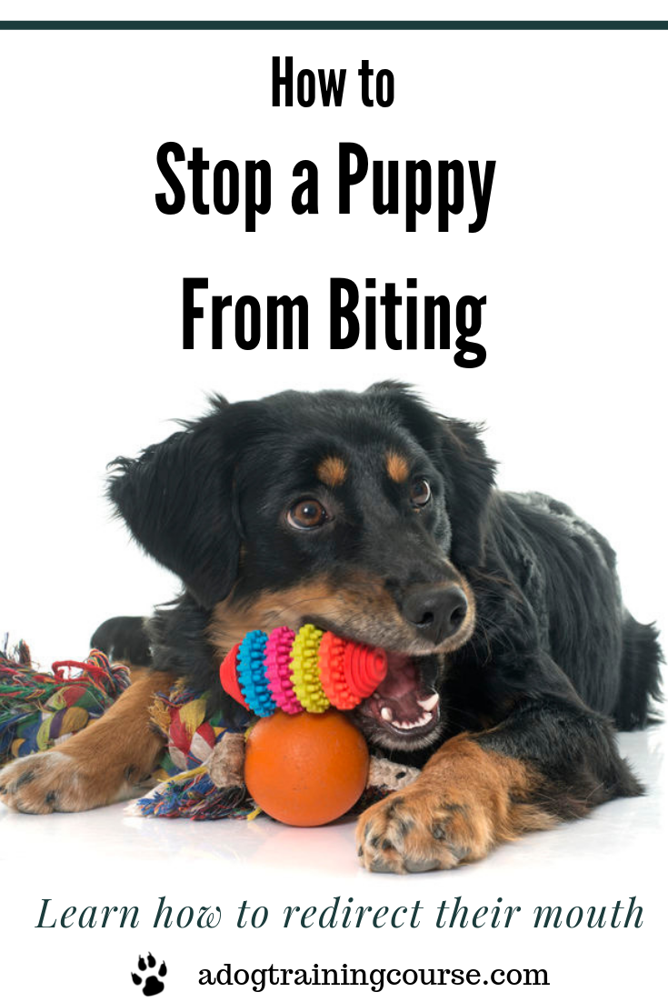 Learn how to stop a puppy from biting. And what to do when