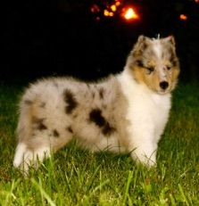 Heritage Farms Collies Collies For Sale Breeders Of Akc Registered
