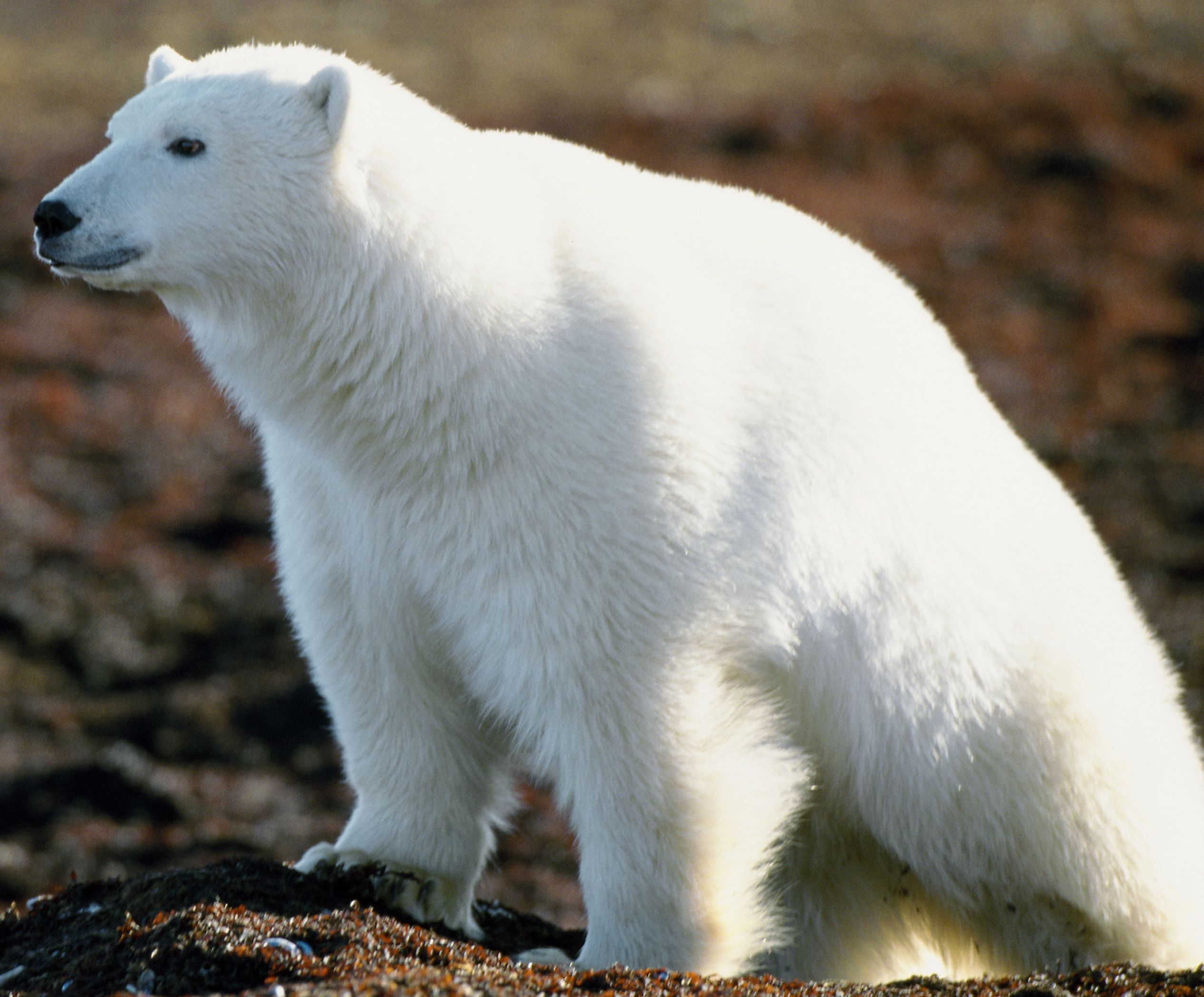 Does this bear look white or what polar bears pinterest does this bear look white or what biocorpaavc Choice Image