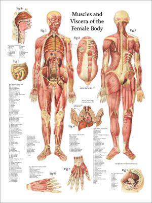 ANATOMÍA MUSCULAR FEMENINA | ANATOMÍA 2 | Pinterest | Anatomía ...