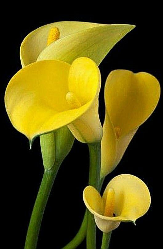 Pin On Calla Lily