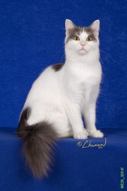 Tatcancats About The Turkish Van Angora Cats Turkish Angora Cat Turkish Van Cats