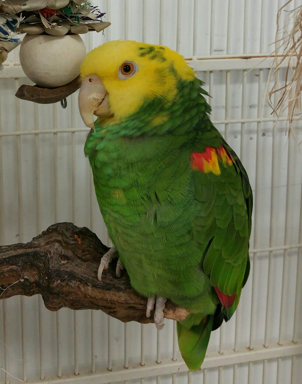 Pin On Parrots In Need Of Forever Homes Rhode Island Parrot Rescue Riparrots Org