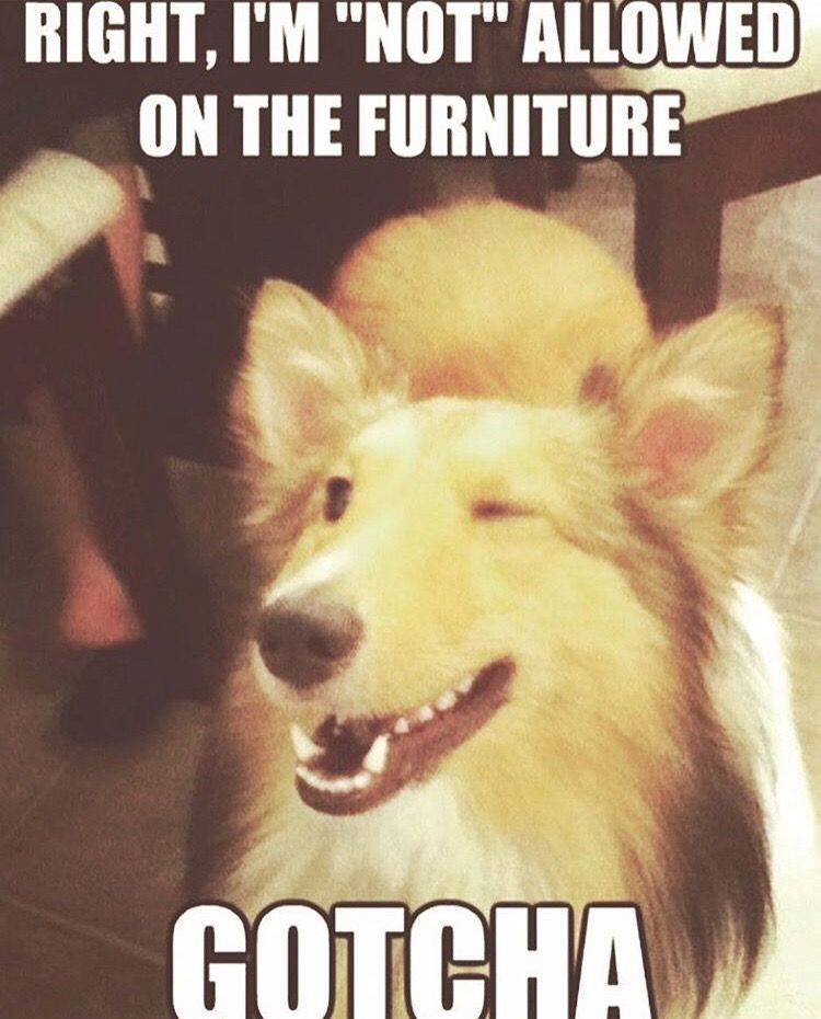 Not Allowed On The Furniture Gotcha