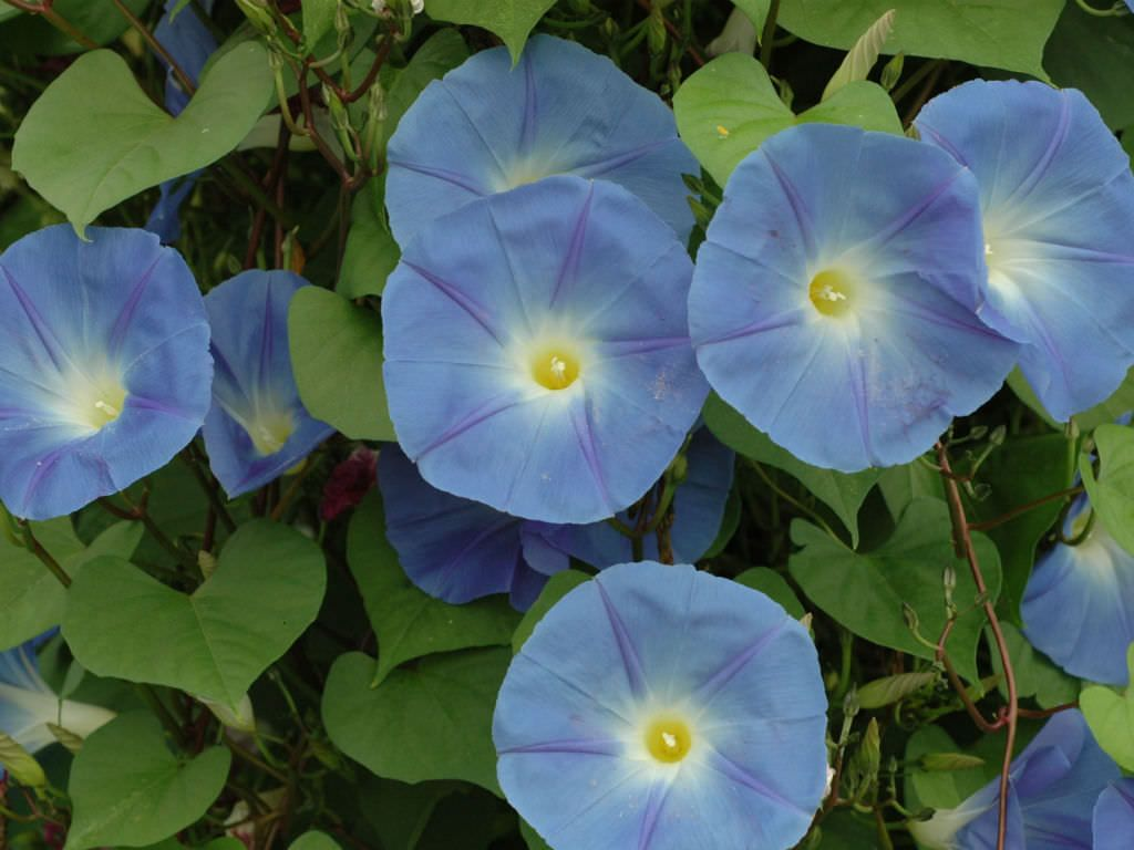 Ipomoea Tricolor Morning Glory World Of Flowering Plants Morning Glory Flowers Planting Flowers