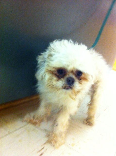 Adopt Watson On Shih Tzu Dog Shih Tzu Puppies