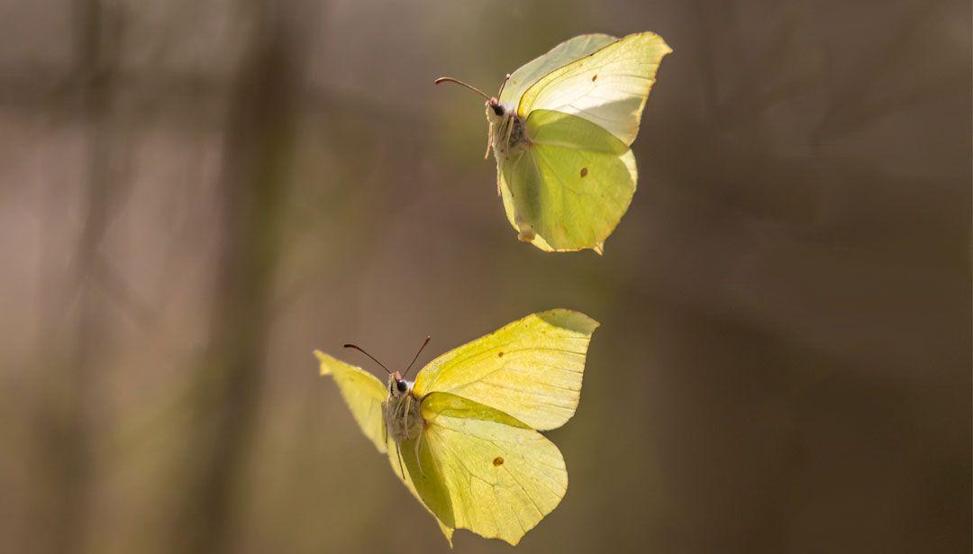 Zitronenfalter Und Viele Andere Schmetterlinge Uberwintern Bei Uns Schmetterlinge Uberwintern Artenschutz Uberwintern