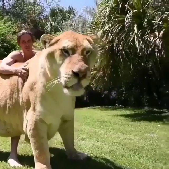 Größte Katze der Welt ♥ ️❤️,  #der #größte #katze #Welt #women #trend #trends