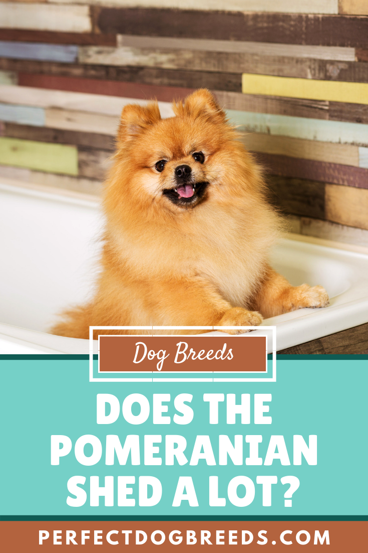 Do Pomeranians Shed Pomeranian Dog Dog Breeds Most Popular Dog Breeds