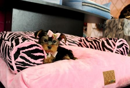 Teacup Yorkie Puppy For Sale In Indiana Yorkie Puppy For Sale Teacup Yorkie Puppy Teacup Puppies For Sale