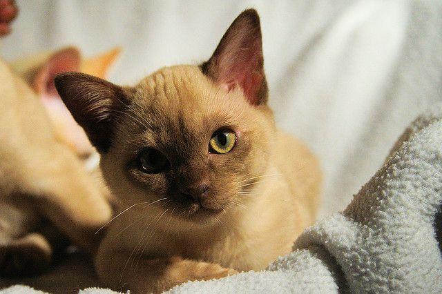 Aramisa Burmese Kittens Cute Cats Burmese Cat
