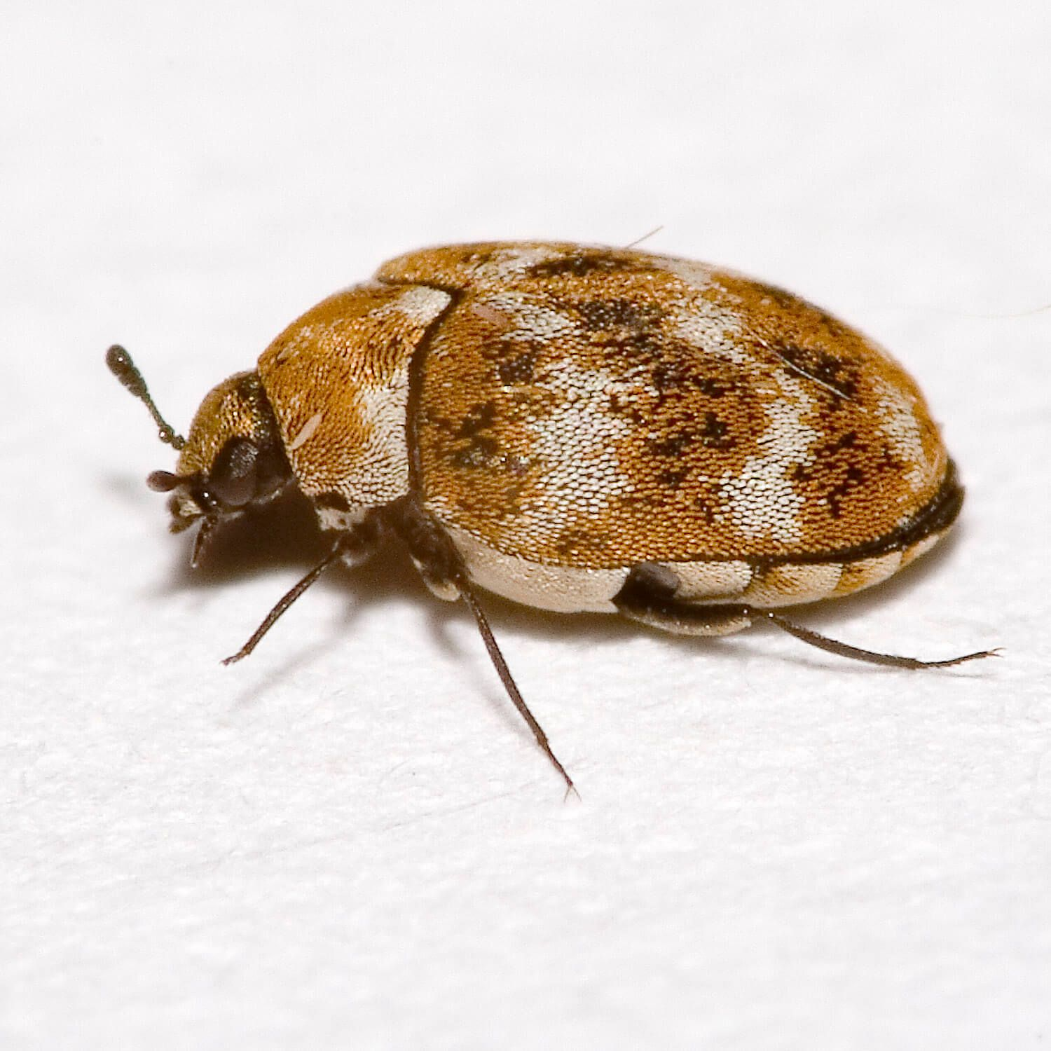 Carpet Beetle Imagine Having Your Lovely Carpets Being Raided By Pests Imagine Your Favorite Piece Of Furniture Being The Insect Photos Beetle Insect Insects