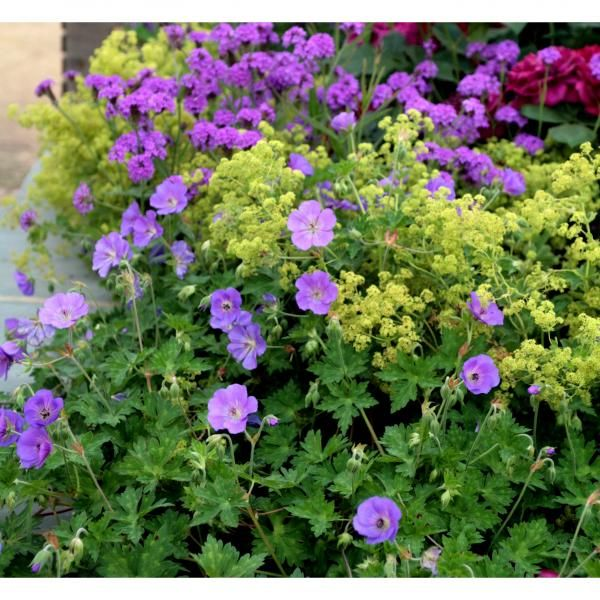 fleurs bleues vivaces couvre sol. Black Bedroom Furniture Sets. Home Design Ideas
