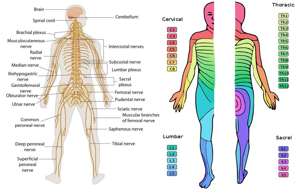Chart Of Dermatomes Peripheral Nervous System Neuropathy Board Pn