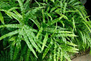 foug re pteris cretica plantes d int rieur pour l 39 ombre pinterest plante interieur. Black Bedroom Furniture Sets. Home Design Ideas