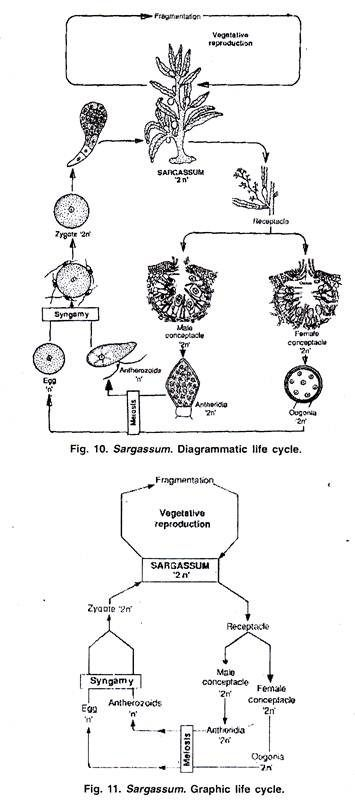Photo of Diagrammatic and Graphic Life Cycle of Sargassum