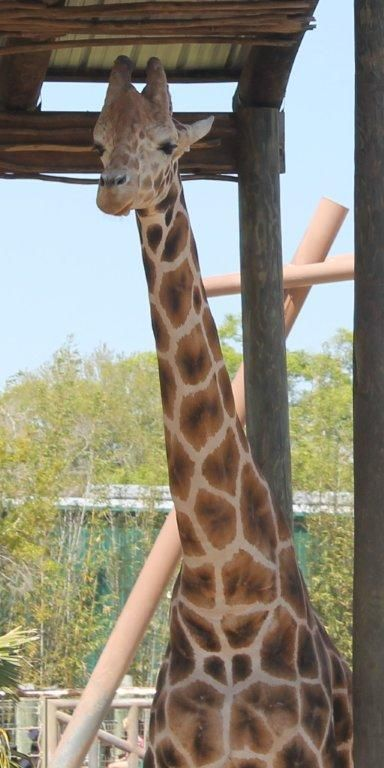 Real giraffe pic that I took at the zoo!