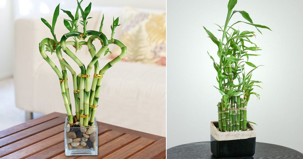 How to grow lucky bamboo indoors bamboo care lucky