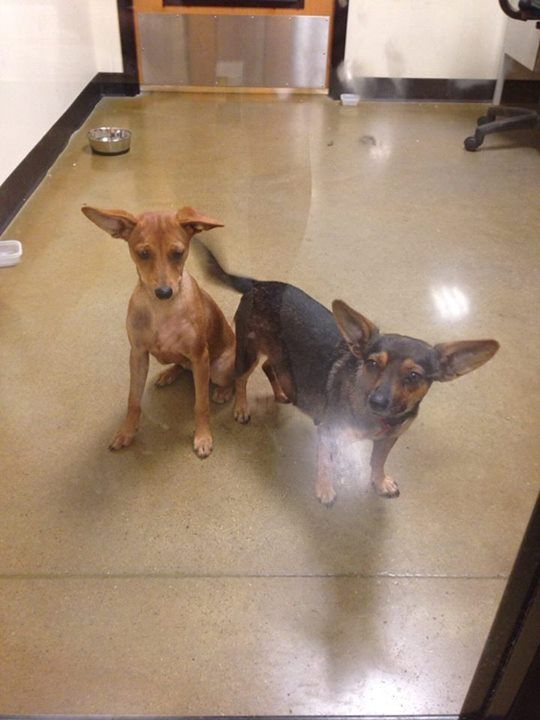 Urgent Abandoned At Petsmart In Richmond Tx Left In A Basket In The Store They Need A Place By 9 Tonight 10 5 The O Dog Adoption Dog Sounds Animal Rescue