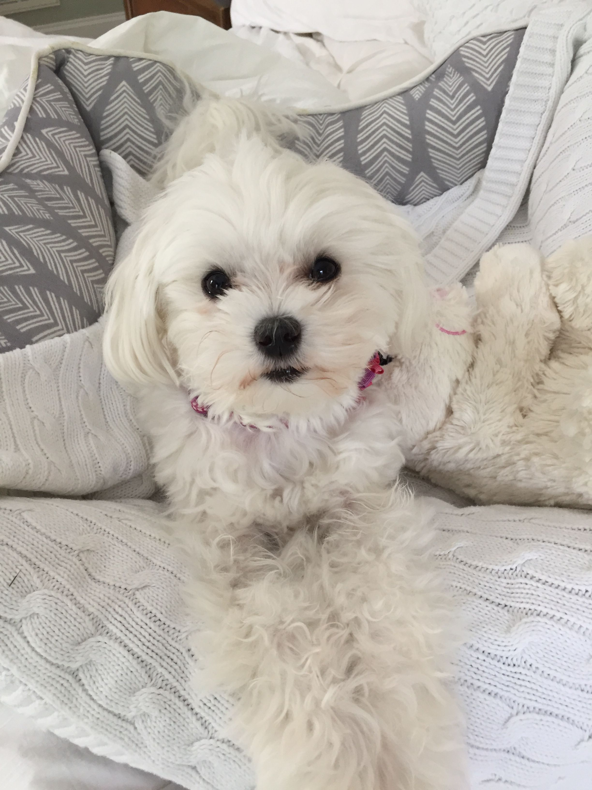 Snowy Puppy Maltese Maltese Dogs