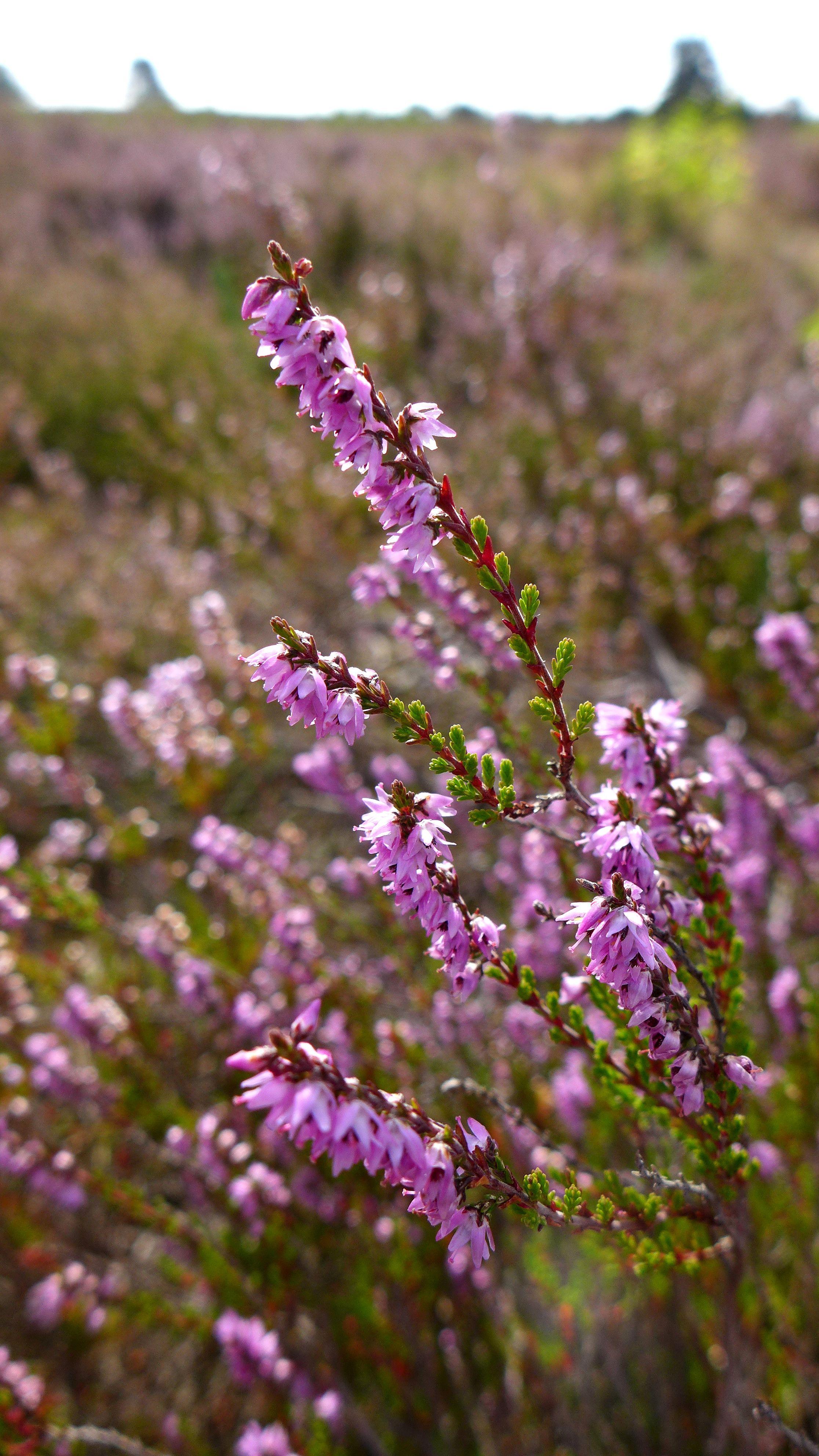 2019 09 Mehlinger Heide In 2020 Scottish Heather Plants Heide