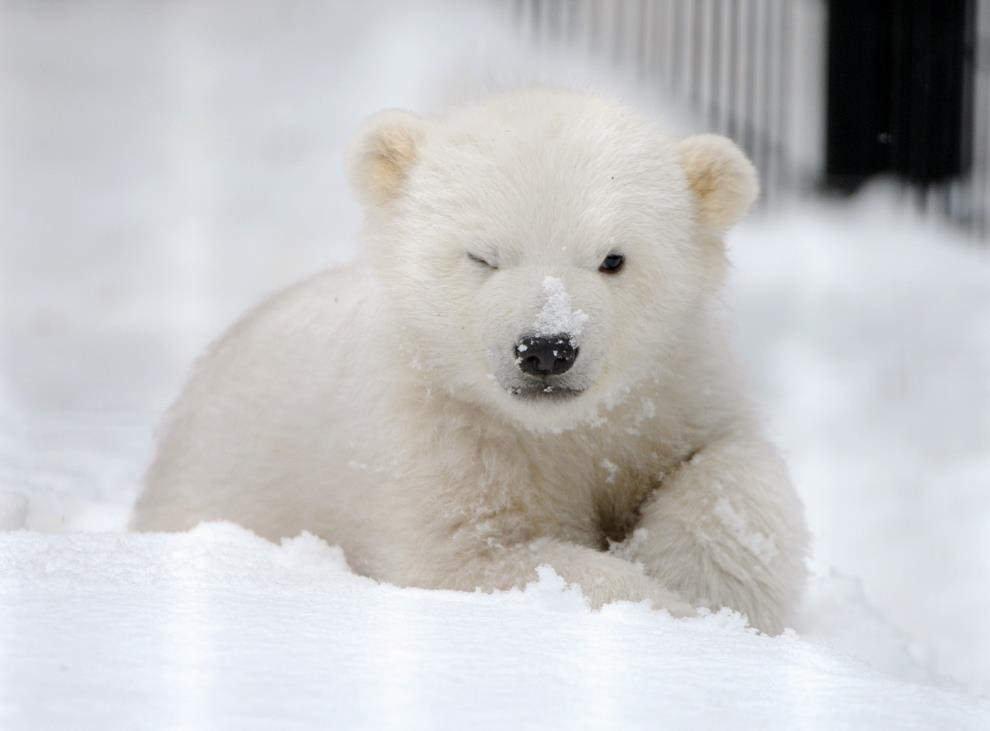 Pin By Awb On Bear Polar Paint Art Baby Polar Bears Polar Bear Wallpaper Cute Polar Bear