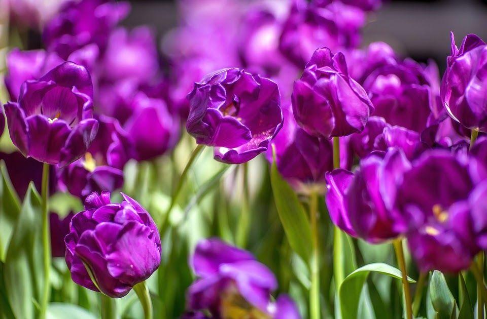 Paling Bagus 12 Wallpaper Bunga Lily Ungu Mengenal Banyak Hal Dari Gambar Bunga Tulip Dan Sejarahnya Mengenal Banyak Ha Bunga Bunga Indah Bunga Gambar Bunga